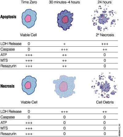 promega apoptosis protocols and applications guide