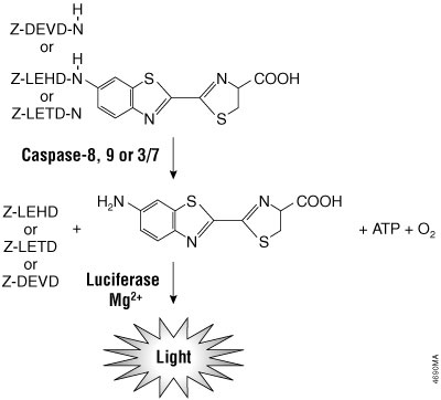 Caspase-8, -9, -3/7 cleavage of the proluminogenic substrates containing LETD, LEHD or DEVD, respectively.