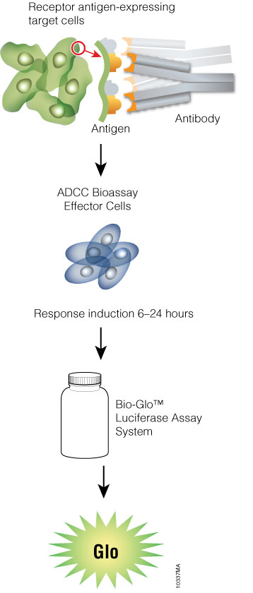 Schematic protocol for the ADCC Reporter Bioassay.